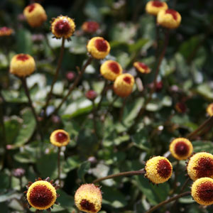 Spilanthes_PeekaBoo1300